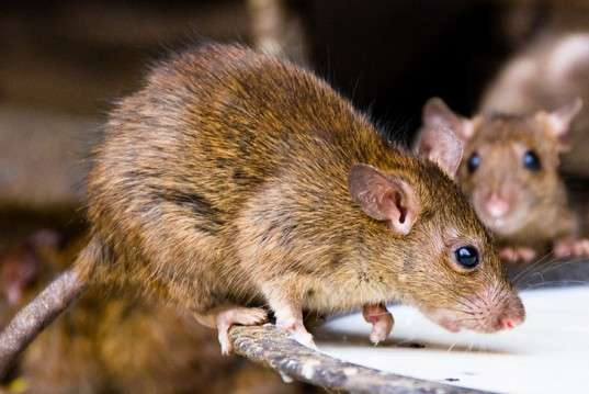 Lassa Fever: Avoid Drinking Soaked Garri -Medical Union Warns