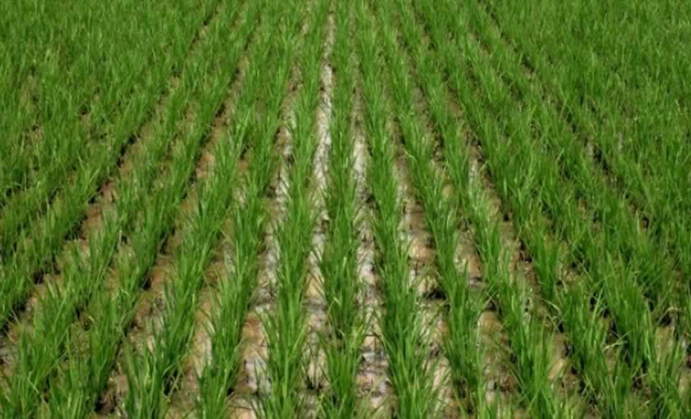 Agriculture Department strict on production of paddy before June 15