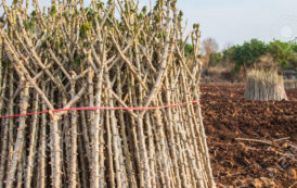 Farmers In Enugu Laments Scarcity And High Cost Of Cassava